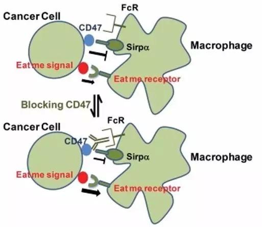 斯坦福大学发现抗CD47免疫疗法显奇效