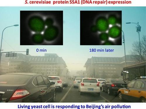北大首次用荧光标记酵母菌实现PM2.5毒性实时在线监测
